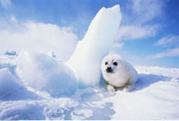 Harp Seal by Ice Madeleine Islands