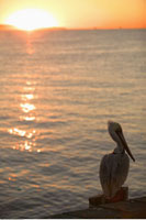 Pelican on Pier at Sunset