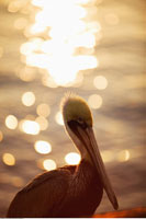 Pelican by Water