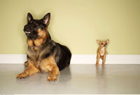 German Shepherd and Chihuahua