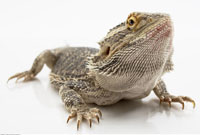 Portrait of Bearded Dragon Lizard