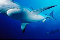 Caribbean Reef Shark Underwater