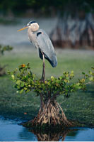 Heron on Mangrove Tree