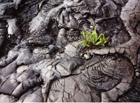 Plant Growing in Lava