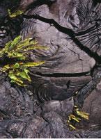 Plants Growing in Lava