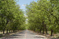 Pecan Trees and Road