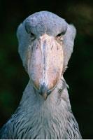 Whale-Headed Stork