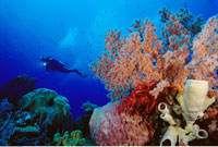 Scuba-diver at Coral Reef