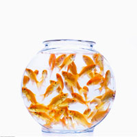Many Goldfish in Bowl