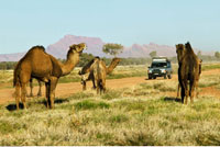 Wild Camels Near Papunya