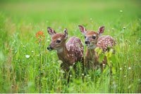Two White Tailed Deer Fawn