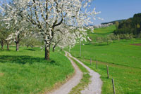 Cherry Tree and Country Road