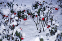 Rose Garden in Snow
