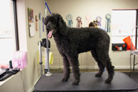 Dog Standing on Table at Dog Groomers