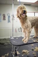 Dog getting Hair Cut at Dog Groomers