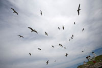 Seagulls over Nubble Lighthouse