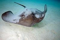 Stingray, Pacific Ocean,