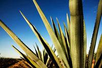 Agave Plant, San Miguel deAllende, Guanajuato, Mexico