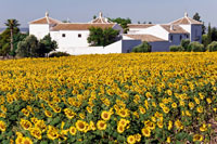Field of Sunflowers andFarmhouse