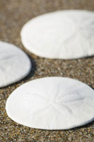 Close-up of Sand Dollars