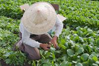 Farmer Picking Spinach