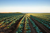 Vegetable Crops