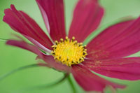 Close-up of Cosmos