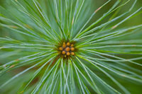 Close-up of Pine Needles