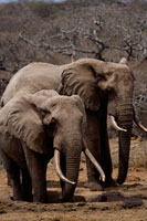 Elephants by Watering Hole