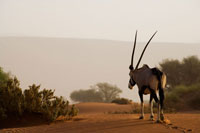 Oryx Walking Through Desert