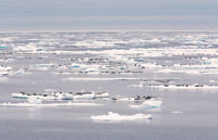 Harp Seals on Ice Floes,Lancaster Sound