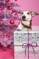 Jack Russell Terrier with Christmas Gift