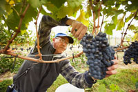 Man Clipping Grapes in Vineyard