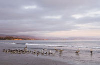Black Skimmers and Pelicans onBeach, Santa Barbara