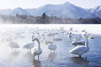 Whooper Swans、 Lake Kussharo、Kushiro Region