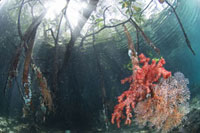 Mangrove Trees and CoralUnderwater