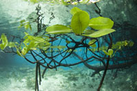 Mangrove Tree Leaves Underwater、Raja Ampat