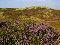 Scenic view of heath in Sylt, North Frisian Island, Schleswig- Holstein, Germany