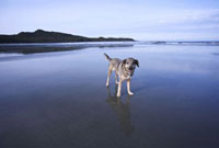 Dog on Wet Beach