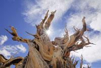 Trunk of Dead Bristle cone Pine Tree