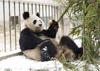 Panda Bear�C Wolong National Nature Reserve