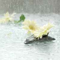 Gerbera blossoms floating on water
