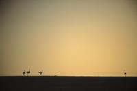 Ostriches, Etosha National Park, Namibia