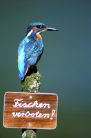 Kingfisher - fishing forbidden