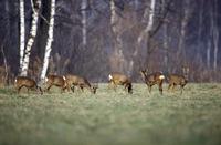 grasing roe deers, Capreolus capreolus