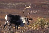carribu, reindeer (Rangifer tarandus caribou)
