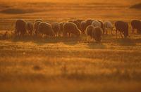 Lechtal lambs