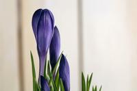 Purple Crocus, close-up