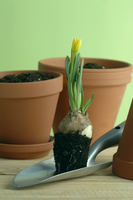 Daffodils with gardening tools