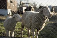 Sheep and cub, close-up